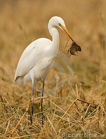 Free Great White Heron Royalty Free Stock Photo - 19578195