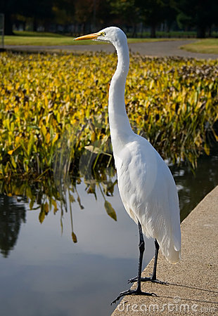 Free Great White Heron Royalty Free Stock Photos - 4257078