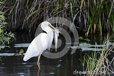 Great white heron (a.k.a. great blue heron)