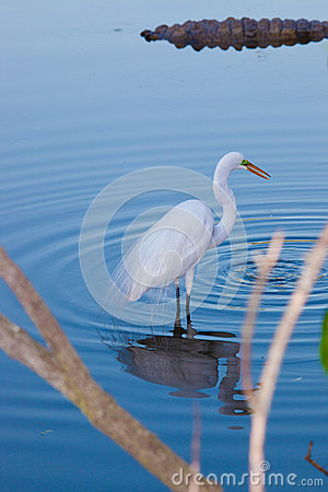 Great White heron in reflection with ripples in water