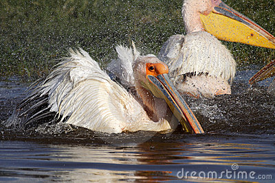 Great white pelican bathing, Lake Nakuru