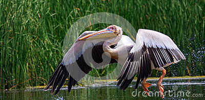 Great white pelican, Pelecanus onocrotalus