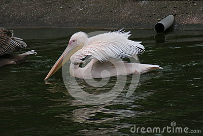 Great White Pelican - Pelecanus onocrotalus