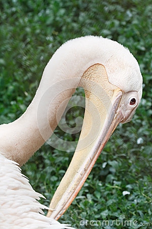 Great white pelican portrait