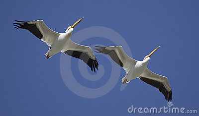 Great White Pelicans in flight