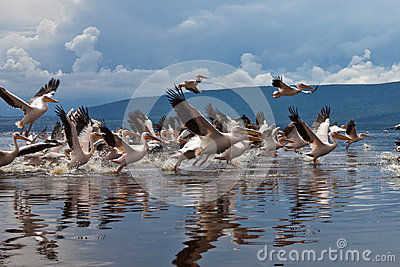 Great white pelicans flight