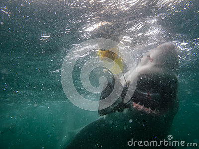 Great white shark eats fish next to divers cage