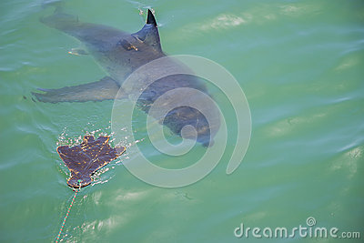 Great White Shark Stalking Decoy 1