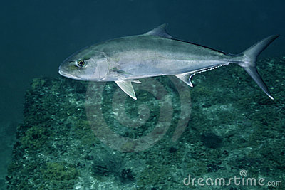 Greater Amberjack - Macs Reef