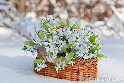 Greater basket with snowdrops