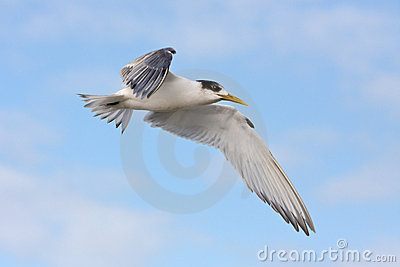 Greater Crested tern in flight