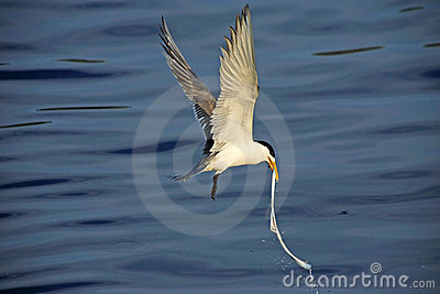 Greater Crested Tern (Sterna bergii)