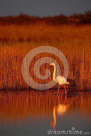 Free Greater Flamingo, Phoenicopterus Ruber, Beautiful Pink Big Bird In Dark Blue Water, With Evening Sun, Reed In The Background, Anim Stock Photos - 70951713