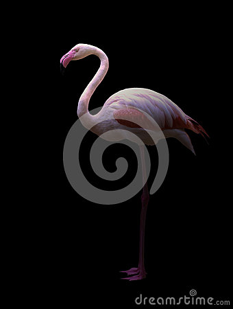 Free Greater Flamingo Standing In The Dark Royalty Free Stock Photos - 93273768