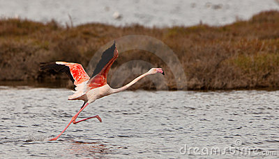 A Greater Flamingoes effort