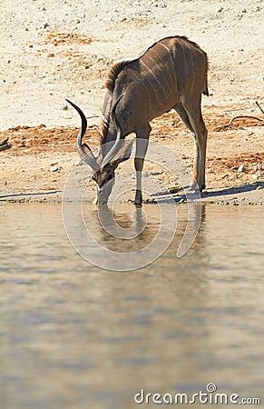 Free Greater Kudu Royalty Free Stock Photos - 31504958