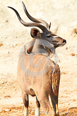 Free Greater Kudu Royalty Free Stock Photo - 31504965