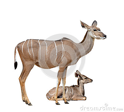 Free Greater Kudu Stock Images - 73520694