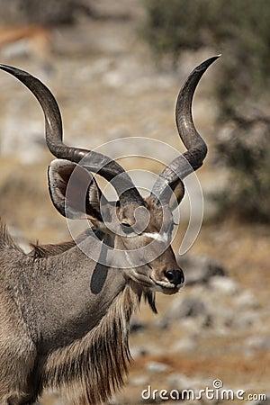 Free Greater Kudu Stock Photos - 7481993
