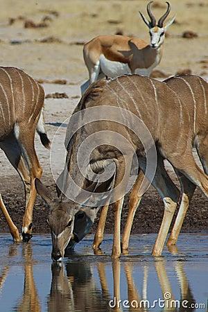 Free Greater Kudu Drinking Royalty Free Stock Photos - 24008638