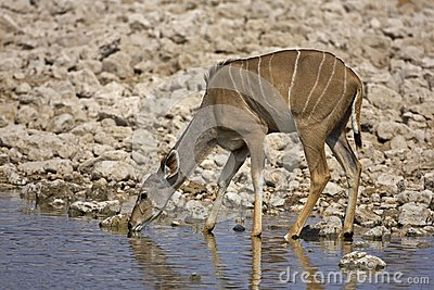 Greater Kudu female at waterhole