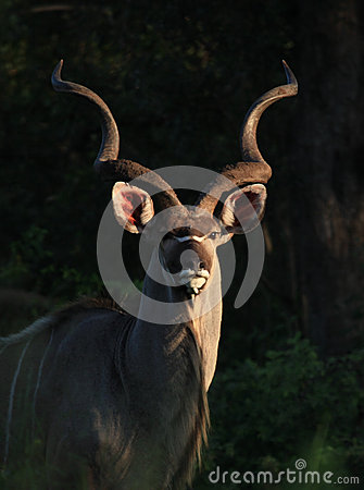 Free Greater Kudu In Kruger National Park Royalty Free Stock Images - 29403619