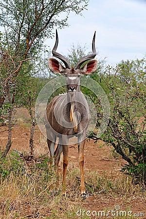 Free Greater Kudu Male (Tragelaphus Strepsiceros) Royalty Free Stock Images - 10632999