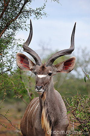 Greater Kudu Male (Tragelaphus strepsiceros)