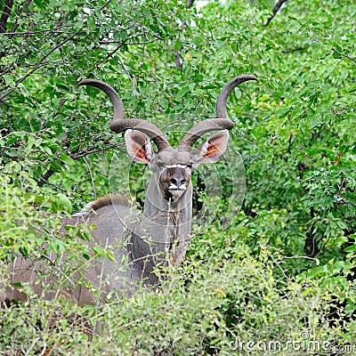 Free Greater Kudu Male (Tragelaphus Strepsiceros) Royalty Free Stock Photos - 11331438