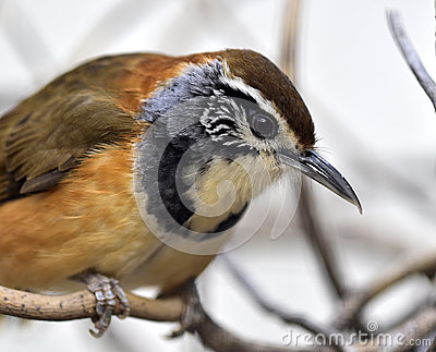 Greater Necklaced Laughing Thrush Stock Photo