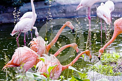 Greater pink flamingo