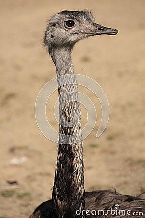 Greater rhea