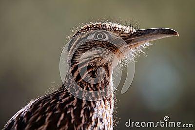 Greater Roadrunner Bird