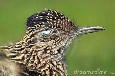 Greater roadrunner detail
