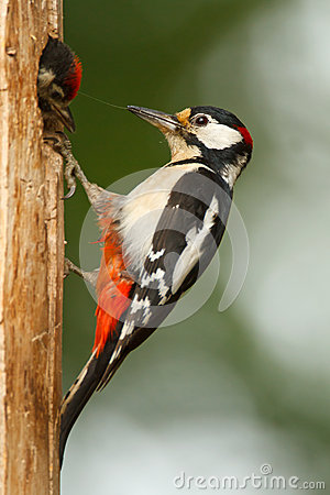 Greater spotted woodpecker with chick