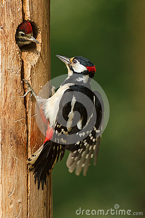 Greater spotted woodpecker feeding chick