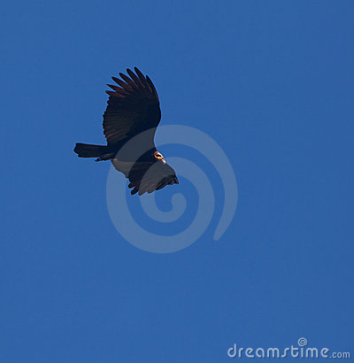 Free Greater Yellow-headed Vulture On Flight Stock Photography - 20165252