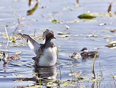 Grebe with Babies