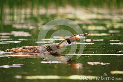 Grebe crested swiming in the lake