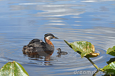 Grebes with 2 chicks