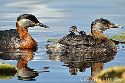 Grebes chicks going for a ride
