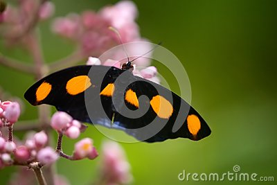 Grecian Shoemaker butterfly