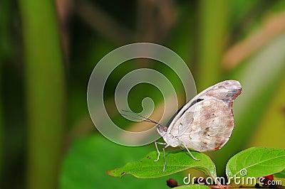 Grecian Shoemaker butterfly (underside)