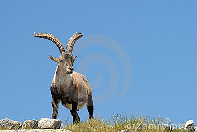 Gredos-fauna