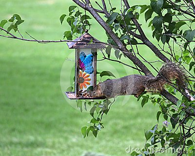 Greedy squirrel stealing from bird feeder