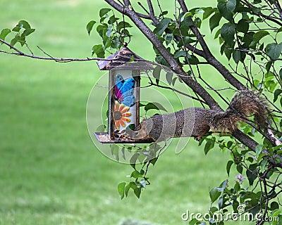 Greedy squirrel stealing from bird feeder