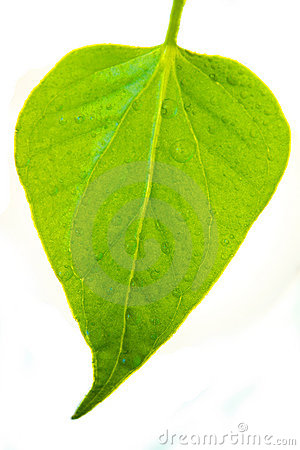 Greeen leaf isolated