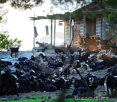Greek goat farm