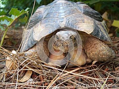 Greek turtle