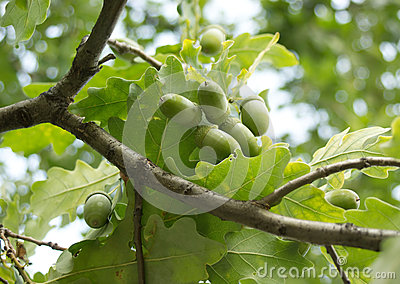 Green acorns grows on oak in a forest